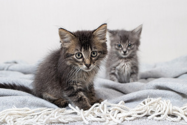 Due piccoli gattini di 1 mese di età gatto si siede su una coperta.