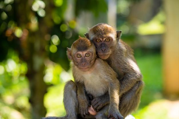 Abbracciare due piccole scimmie.