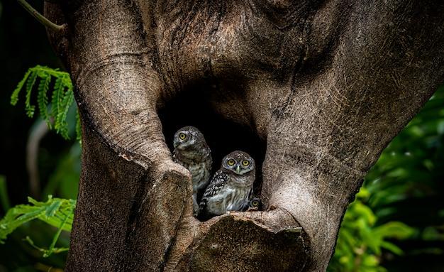 Due civette dentro il buco di un albero in una foresta