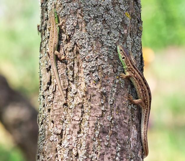 Due lucertole su una corteccia di albero