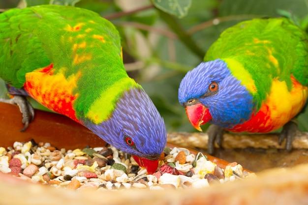 Due pappagalli lorri mangiare cibo da vicino