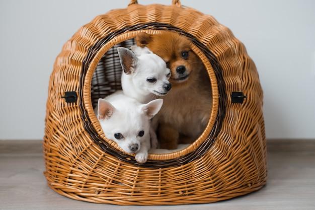 Due adorabili e simpatici cuccioli di chihuahua e peloso cucciolo di cane pomeranian seduto in una cuccia di vimini e guardando fuori con facce emotive divertenti