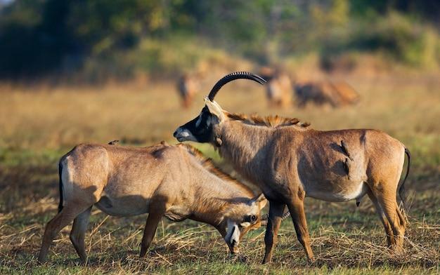 Due antilopi maschi si combattono durante la stagione degli amori