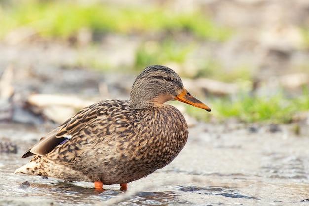 Due mallard duck su una bellissima superficie dell'acqua. anas platyrhynchos. femmina.