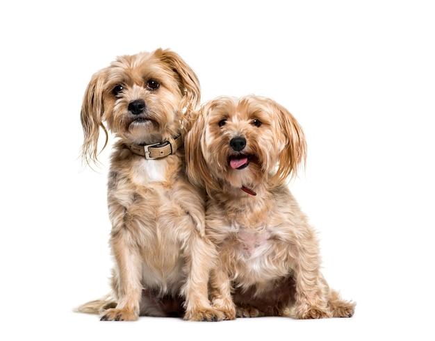 Cane di razza mista due che si siede insieme, isolato