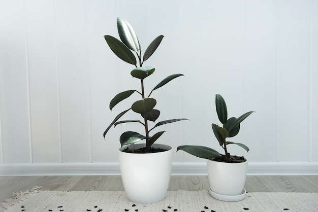 Due moderne piante d'appartamento ficus in vaso bianco, ficus elastica burgundy o rubber plant