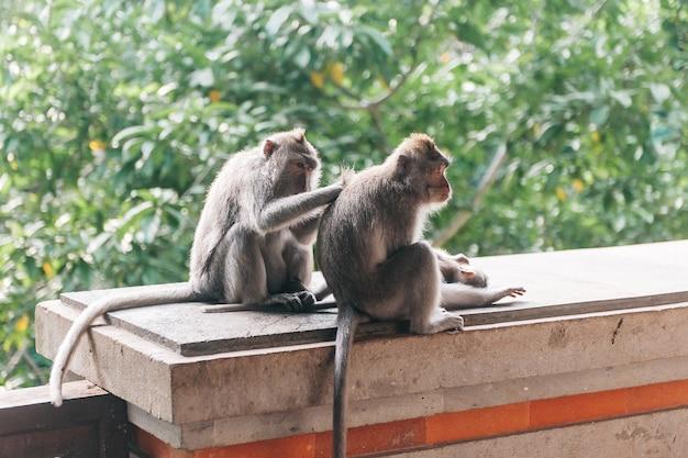 Scimmia due nella foresta ubud bali indonesia. le scimmie si grattano la schiena a vicenda.