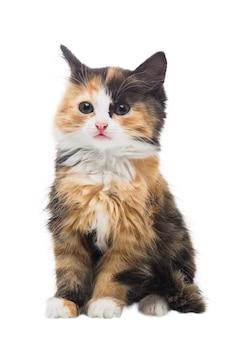 Due mesi di età piccolo gattino tricolore lanuginoso su una superficie bianca isolata