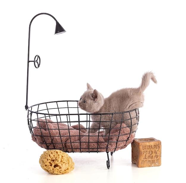 Gattino britannico di due mesi in una vasca da bagno con sapone di marsiglia al 72% di olio su sfondo bianco
