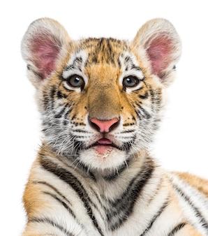 Cucciolo di tigre di due mesi contro bianco