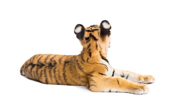 Cucciolo di tigre di due mesi sdraiato su una superficie bianca