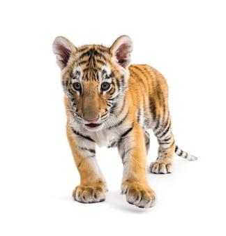 Cucciolo di tigre di due mesi in piedi contro una superficie bianca