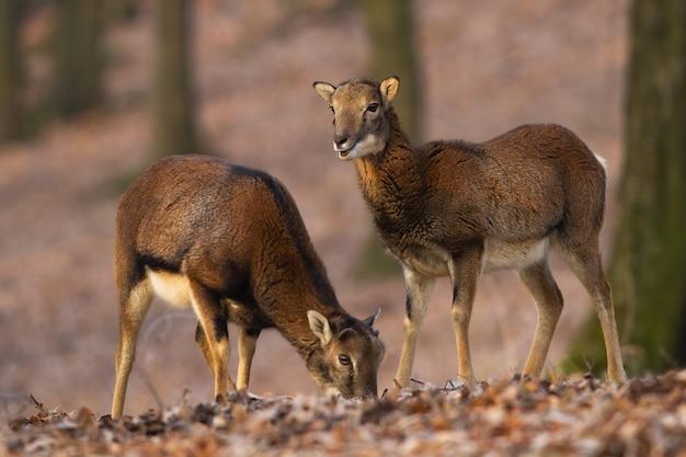 Due mufloni in piedi nella foresta nella natura autunnale.