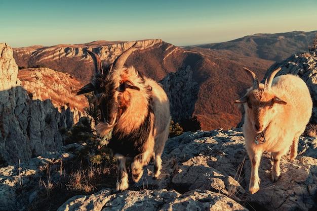 Due capre di montagna in cima a una montagna, primo piano