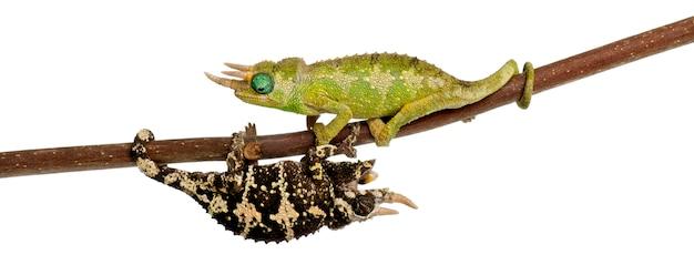 Two mt. il camaleonte di meru jackson - chamaeleo jacksonii merumontanus si sta parzialmente perdendo Foto Premium