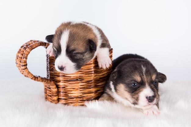 Due cuccioli di pembroke welsh corgi cani isolati su priorità bassa bianca