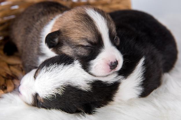 Due cani di cuccioli di pembroke welsh corgi su bianco