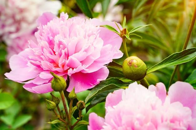 Due teste di peonia fiori rosa e petali di carta da parati sfondo bocciolo