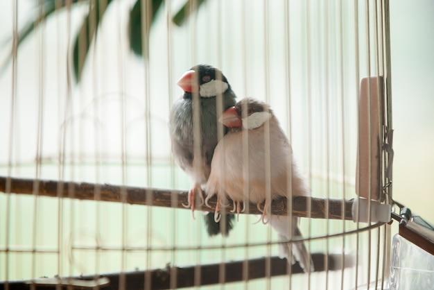 Due uccelli da compagnia in una gabbia