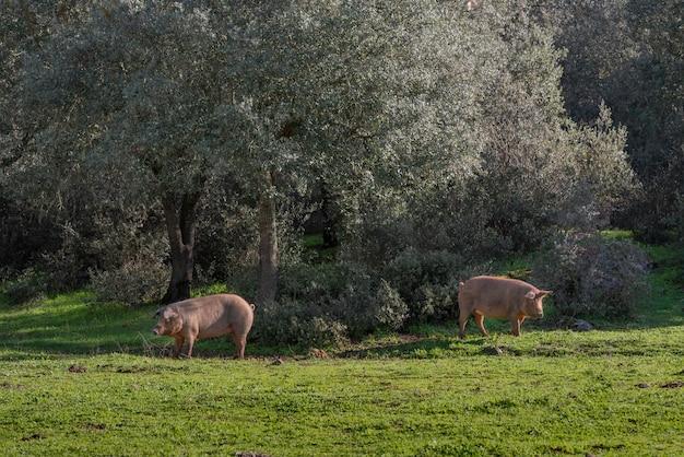 Due maiali che pascono di giorno in prato Foto Premium