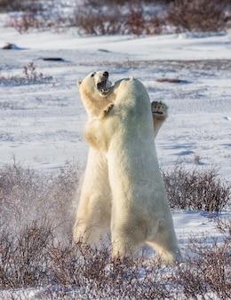 Due orsi polari stanno giocando tra loro nella tundra. canada.