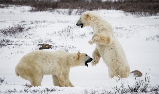 Due orsi polari stanno giocando tra loro nella tundra. canada. Foto Premium