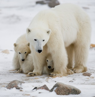 Due orsi polari che giocano tra loro nella neve