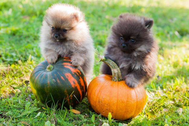 Due cuccioli di cani pomeranian e zucca