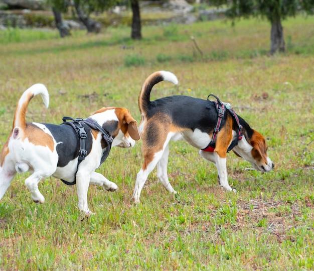 Due cuccioli che camminano sul campo erboso. due cuccioli marroni e bianchi che camminano insieme nel parco.