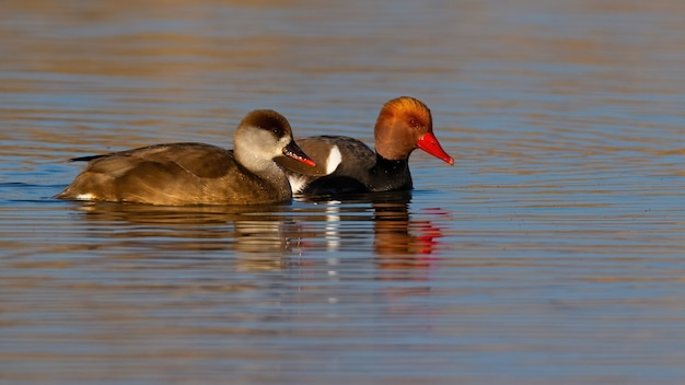 Due moriglione dalla cresta rossa nuotano sulla superficie dell'acqua illuminata dal sole del mattino