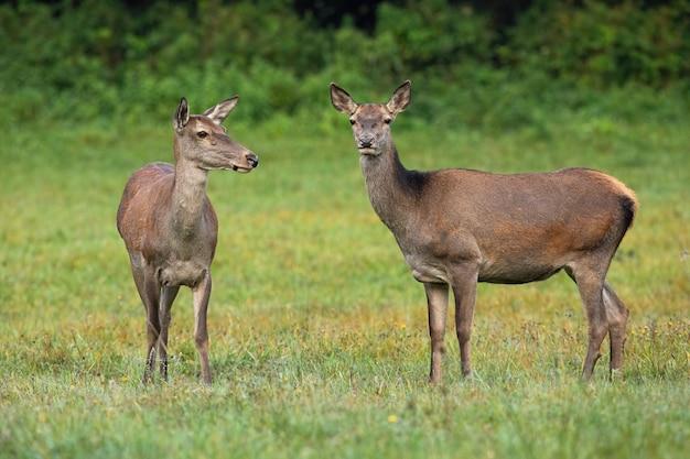 Due cerve cervi rossi in piedi sul prato nella natura estiva.