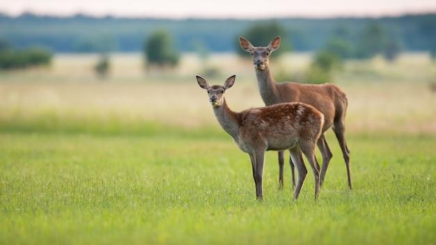 Due cervi nobili che guardano l'erba nella natura primaverile con lo spazio della copia