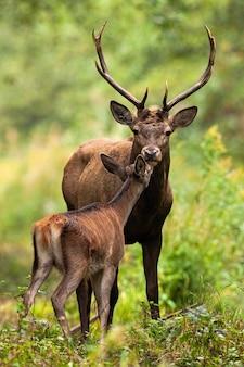 Due cervi rossi che odorano nella foresta nella natura di estate
