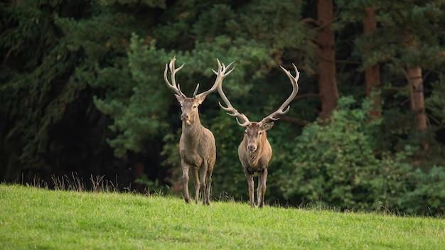 Due cervi rossi si avvicinano su un prato verde in autunno dalla vista frontale