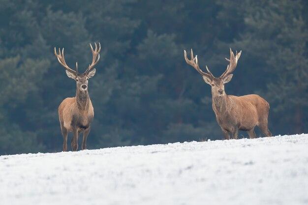 Due cervi nobili in piedi sul campo nevoso in inverno