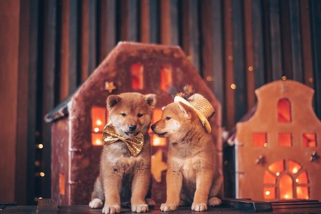 Due cani rossi, laika giapponese, razza siba-inu, vestiti per natale. concetto di riunione di capodanno