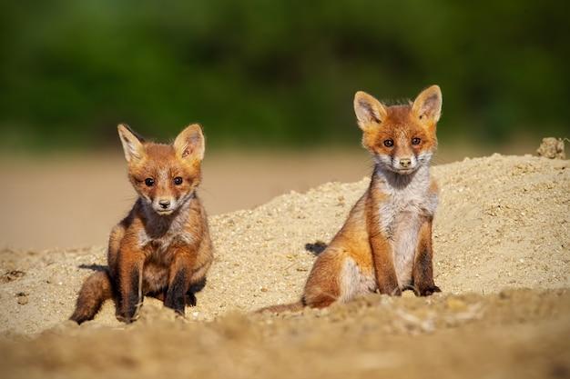 Due cuccioli di volpe rossa che prendono il sole nella natura primaverile