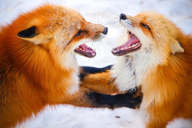 Due volpi rosse si combattono nella neve invernale