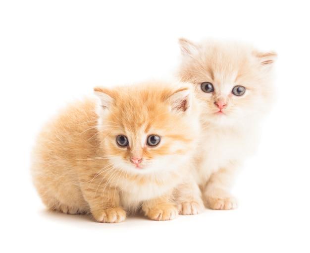 Due gattini rossi isolati su sfondo bianco