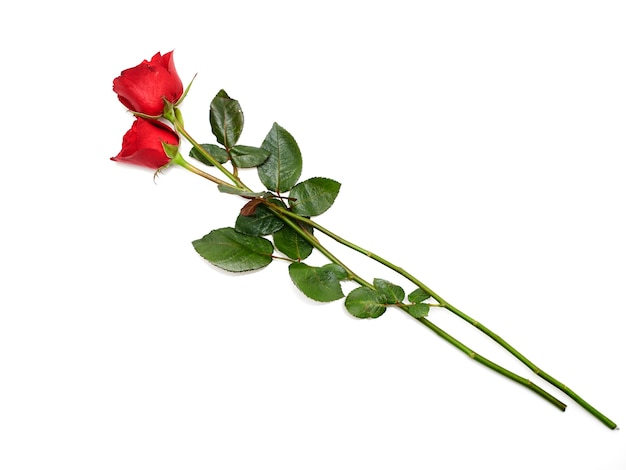 Due rose rosse su sfondo bianco