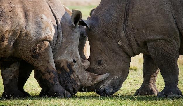 Due rinoceronti stanno combattendo tra loro.