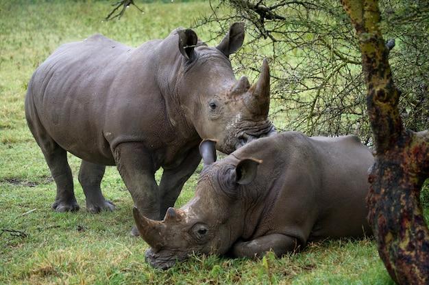 Due rinoceronti nella savana.