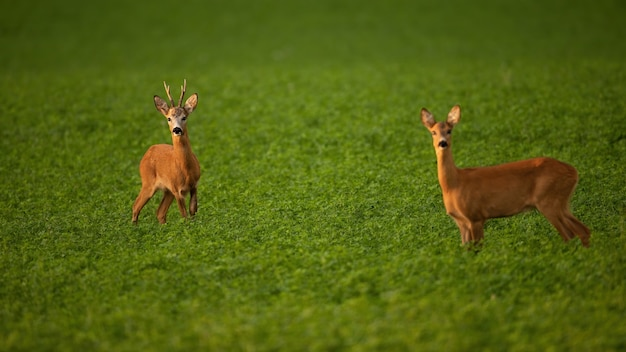 Due caprioli in piedi sul campo nella stagione estiva degli amori