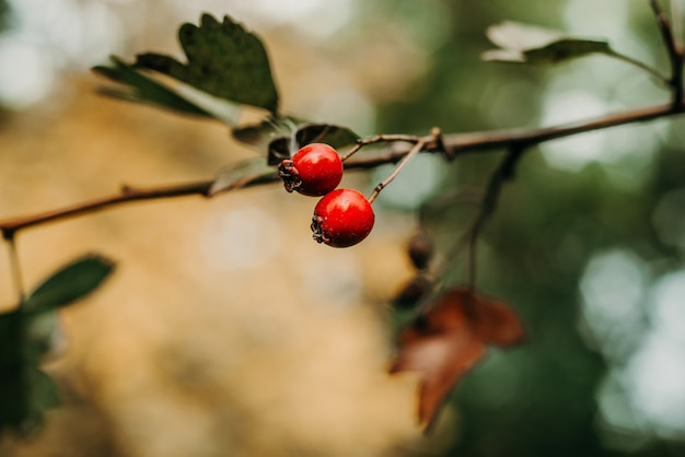 Due cinorrodi su un ramo in un parco in autunno