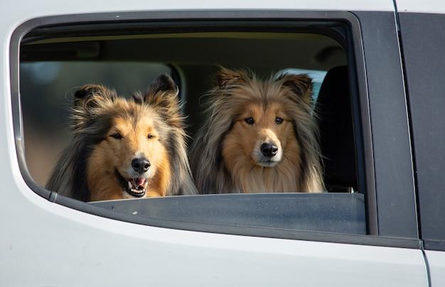 Due ruvidi collie rivestiti di nero e zibellino in piedi sul sedile posteriore dell'auto guardando fuori dal finestrino