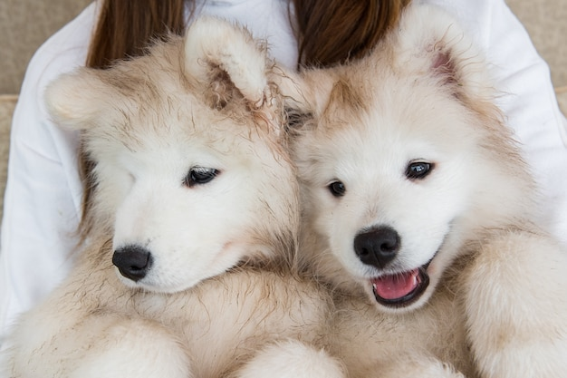 Due cani samoiedo sulle mani del proprietario.