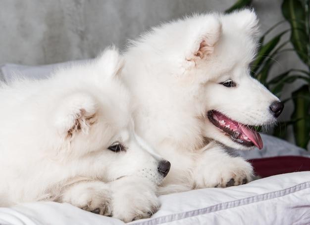Due cuccioli di cani samoiedo nel letto rosso