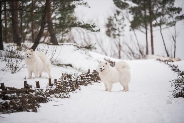 Due cani bianchi samoiedo stanno correndo sulla neve fuori durante l'inverno