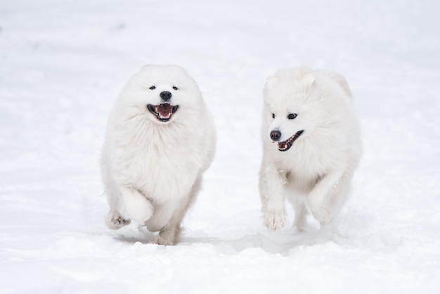 Due cani bianchi di samoiedo stanno giocando nella foresta invernale