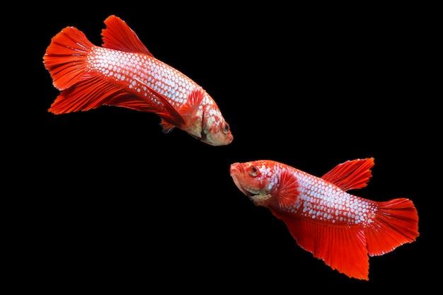 Due pesci siamesi di combattimento isolati sul nero